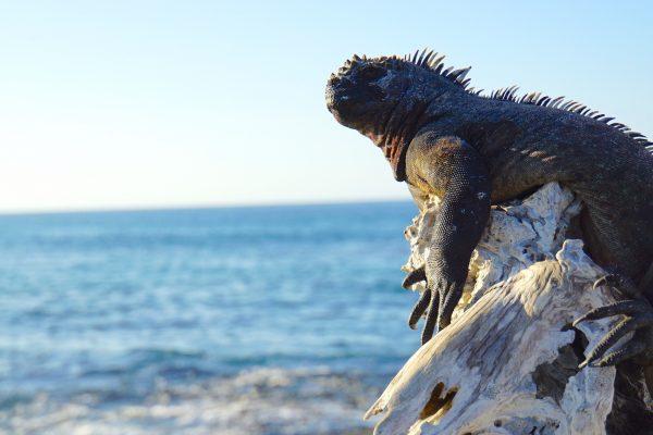 Un iguane marin se réchauffe au soleil dans l'île Fernandina aux Galápagos. © Cherise Fong