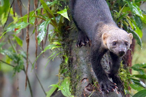 Une tayra (Eira barbara) descend un arbre dans la bioréserve de Mashpi en Ecuador. © Cherise Fong